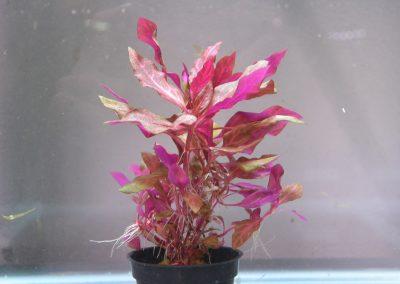 Alternanthera Rosefolia