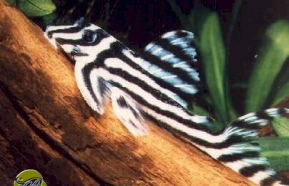 Images of Breeding Zebra Plecostomus - #rock-cafe